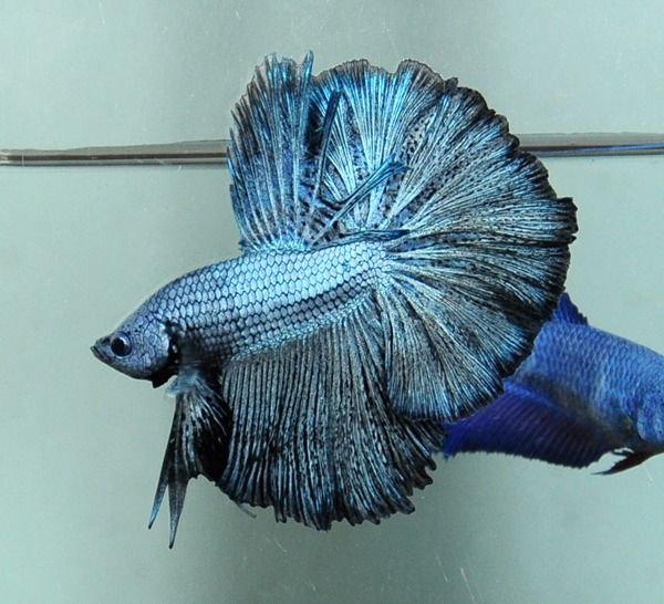 76 best betta fish images on pinterest siamese fighting for Beta fish water