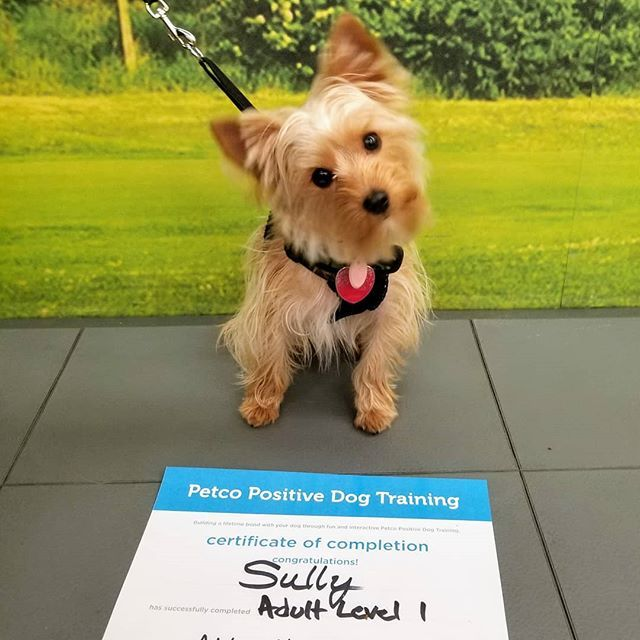Sully Graduated Adult Level 1 Way To Go Sully Yorkie