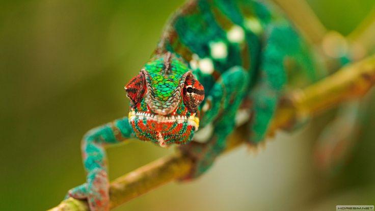 #wallpaper #chameleon #bukalemun #reptile #sürüngen