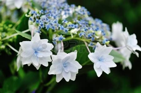 Hydrangea macrophylla Lace Cap Shooting Star also Fuji Waterfall Stock Photo
