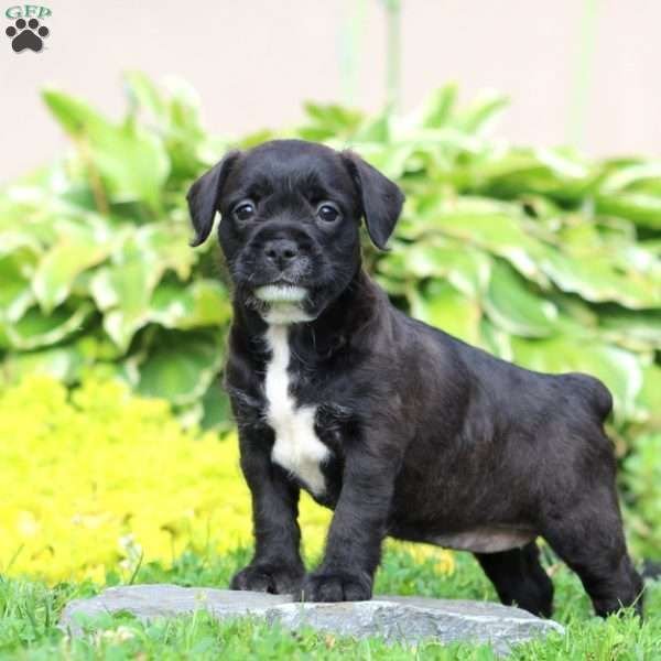 Abby French Bulldog Mix Puppy For Sale In Pennsylvania Dogs