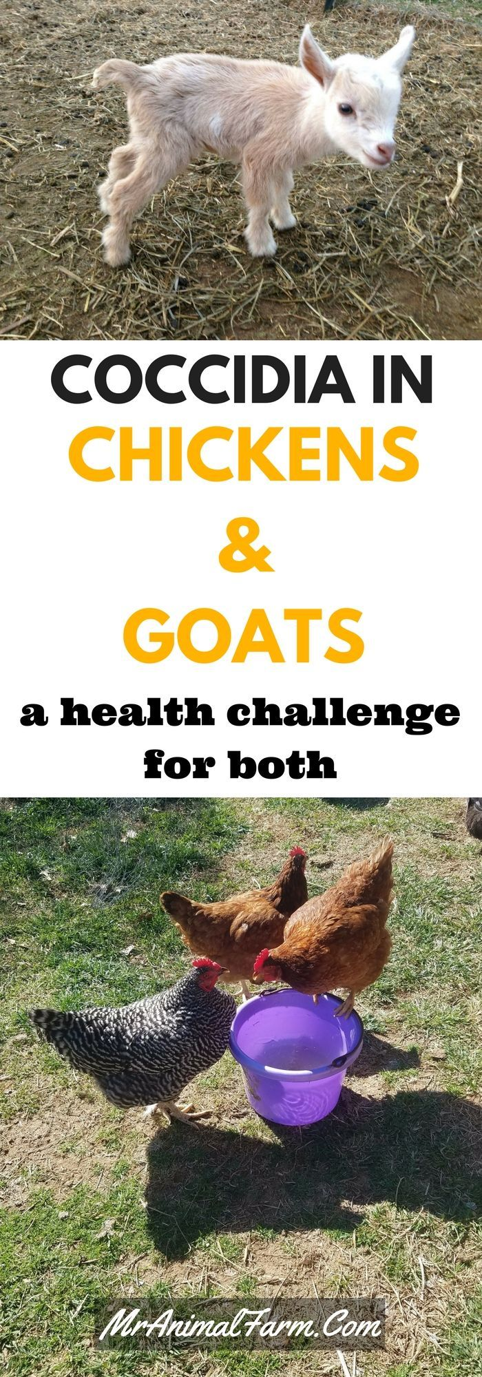 Coccidia can cause issues for both chickens and goats.  Find out causes, symptoms and treatments.
