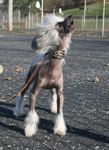 Chinese Crested - small dog standing between 9 to 13 inches, hairless, needs proper protection from hot sun and cold weather, affectionate, fun-loving, loyal, feisty, willing to please, never barks just for the sake of barking, house training takes more time, tends to mark territory, hates to be alone