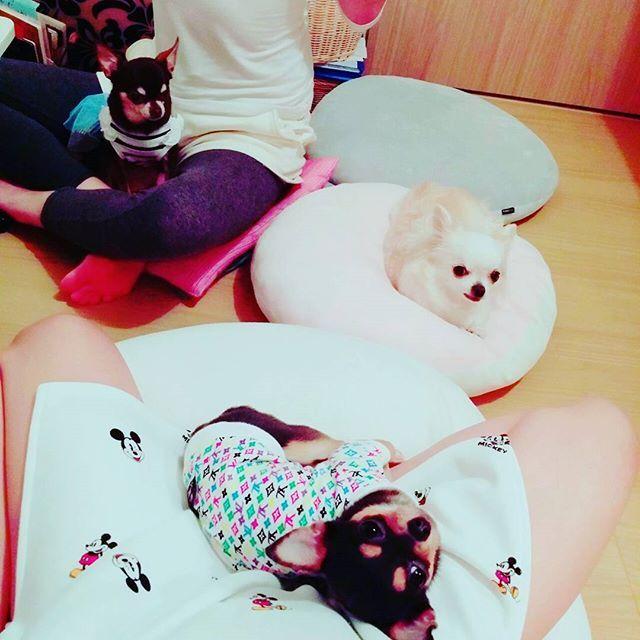 ショコラ ベティ モニカ  ショコ~ベェ~モニ~ って呼んで ハイチーズ📷 モニカの見方😆  そうです 私の膝を占領しているのは モニカです😅  ショコラもママの膝の上だね😄  ベティは偉い子です👏  みんな愛してるよ💖  #チワワの集い#チワワ好き #愛犬#わんこ#カメラ目線 #犬バカ#親バカ  #chihuahua#dog #mydog#myfamily #lovechihuahua  #🐶#💕#🐾 #치와와 #치와와사랑 #치와와스타그램 #귀여워