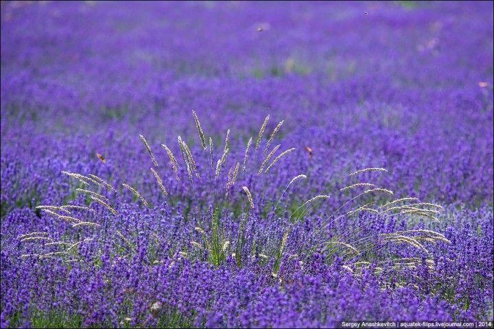 Lavenderfields01 Крымский Прованс. Лавандовые поля в Крыму