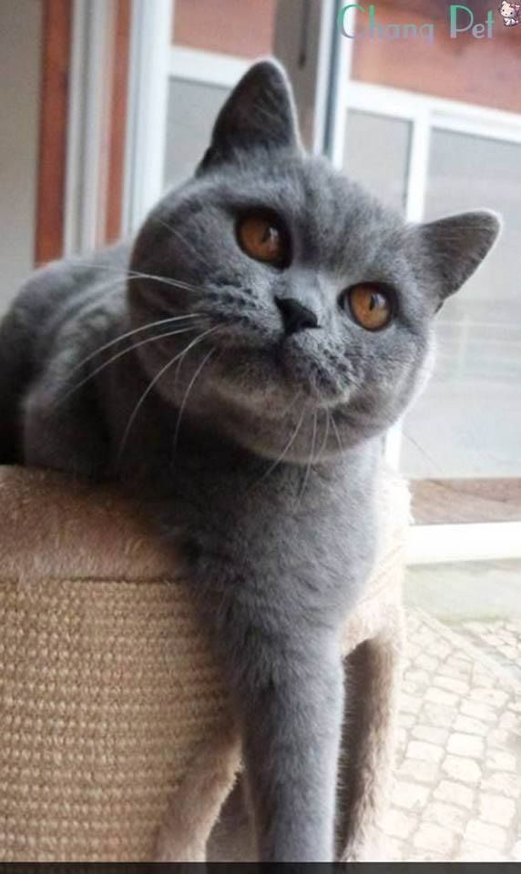 British Shorthair 33 British Shorthair Breeders British Shorthair Cats British Shorthair