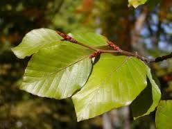 buk lesní-Fagus sylvatica čeleď-vějčité