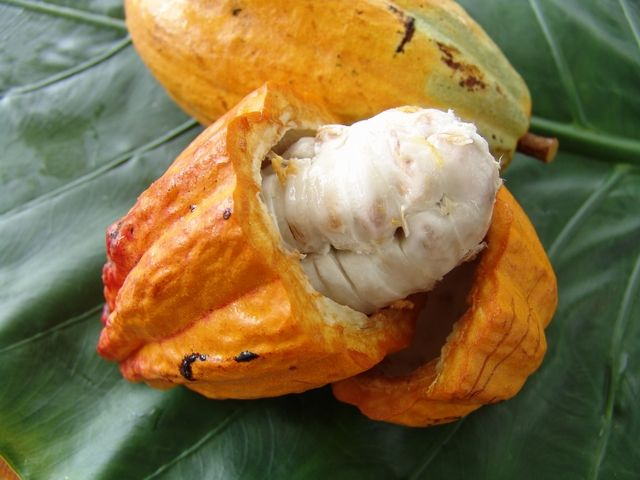 Cocoa  fruit  or God's Fruit--- Caribfruits - Cacao / Fruits des Antilles