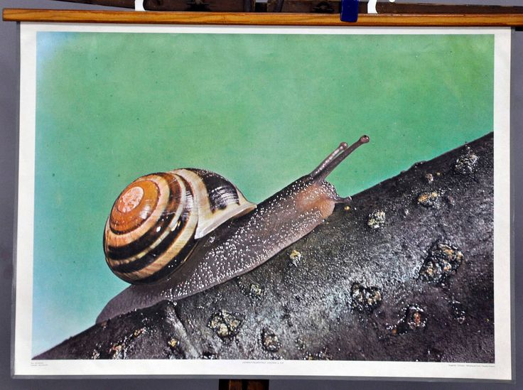zoological poster print vintage school wall chart smaller banded snail r0316