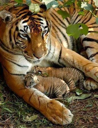 Mama tiger with baby,