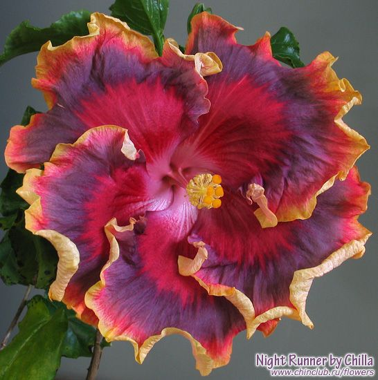 Night Runner hibiscus