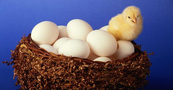 Como aquecer um ovo sem uma incubadora 2. O milagre de uma vida ser chocada de um ovo é igualmente fascinante para crianças e adultos. Normalmente desejados para celebrações na Páscoa ou para ensinar às crianças sobre o ciclo da vida de um pássaro, o aquecimento de ovos férteis para fazê-los chocar geralmente é feito com uma incubadora. Uma incubadora é uma caixa com controle de ...