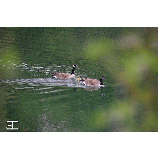 Family swim #geese #babygeese #instawildlife #photooftheday #birds #birdstagram…