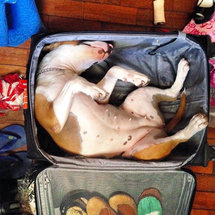 Les Bull Terriers sont des chiens très excentriques. La preuve, ils dorment dans des positions très... particulières.
