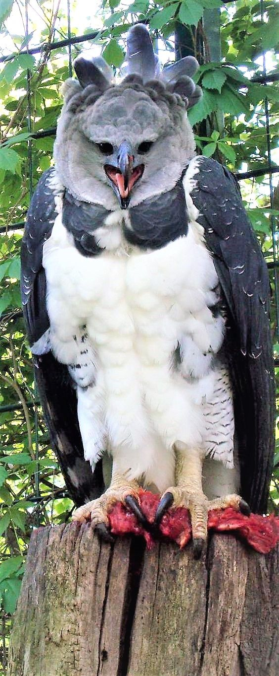 Harpy Eagle in all his Glory.