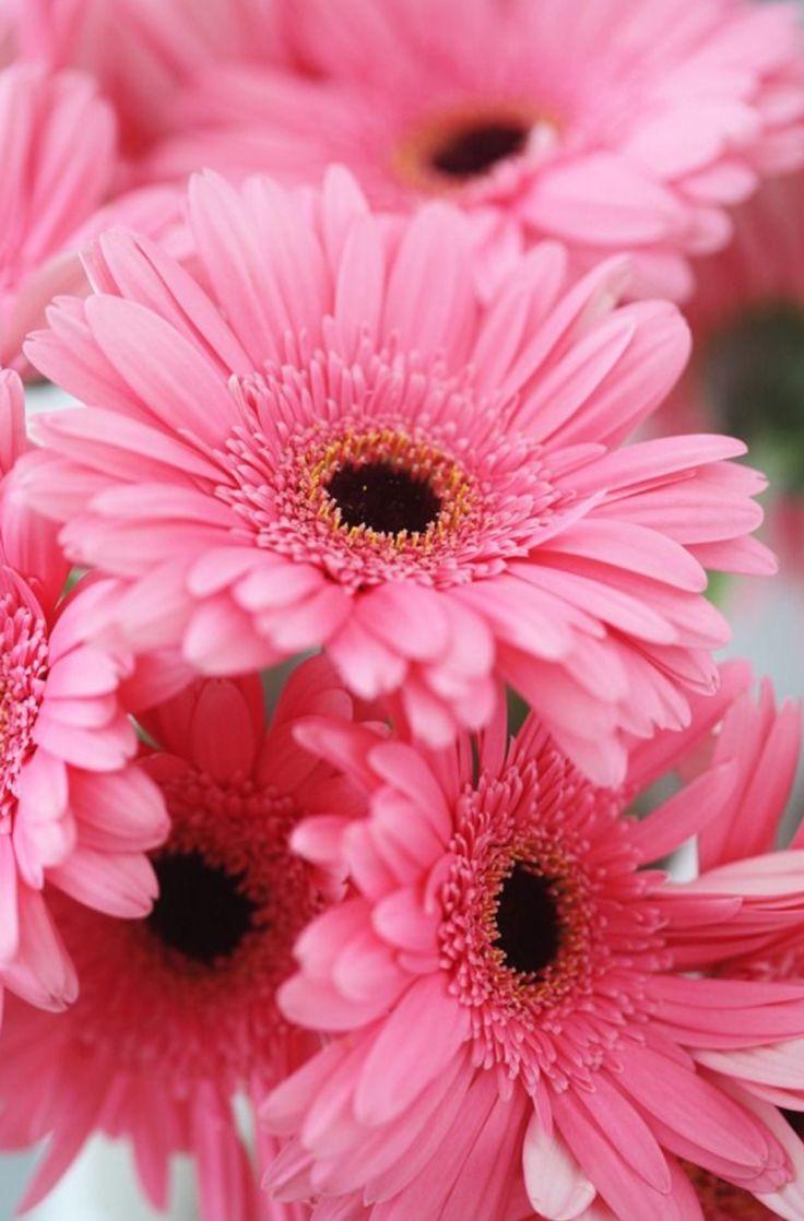 best 25 gerbera flower ideas on pinterest gerbera cake. Black Bedroom Furniture Sets. Home Design Ideas