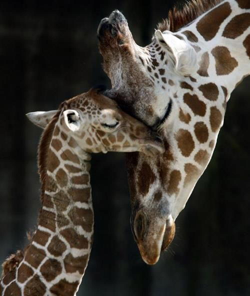 Baby giraffe with its mommy