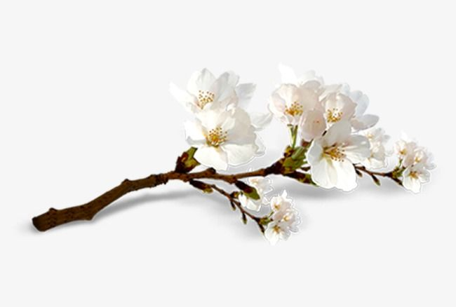 White Cherry White Cherries Cherry Blossom Clip Art