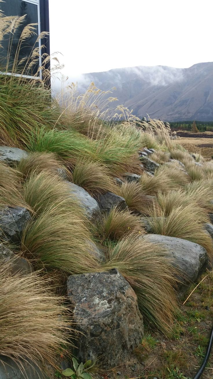 Alpine tussock and grass species