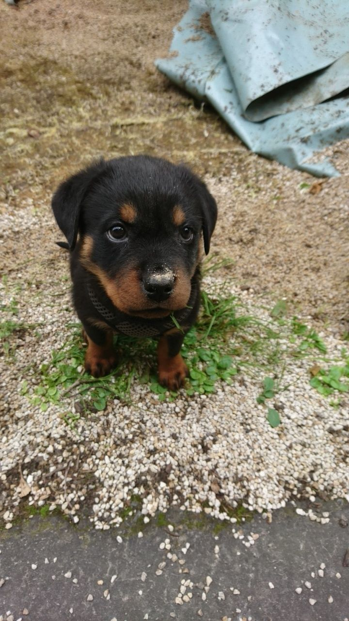 Since You Loved My First Post So Much Adorable Rottweilers In 2020 Rottweiler Mix Rottweiler Rottweiler Love