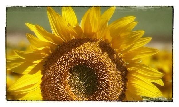 Sunflower Bloom.......