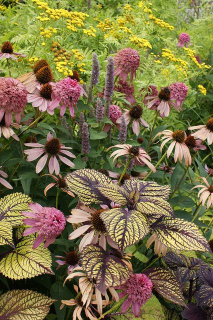Great perennial combo, echinacea , bee balm and coleus, very few leaves give the interest or pop that Coleus provides.
