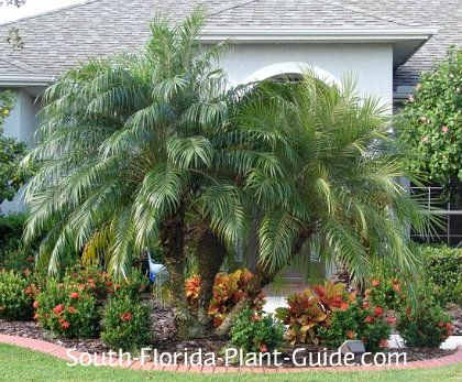 Pygmy date palm phoenix roebelenii this beautiful easy for Easy care plants for landscaping