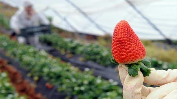 امتيازات جديدة لعاملات الفراولة المغربيات تشجيعا على العمل في ضيعات بإسبانيا Strawberry Fruit