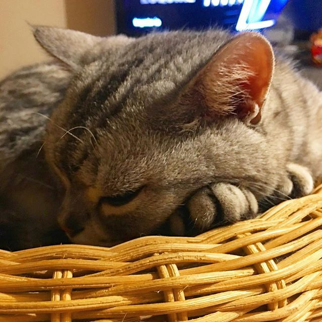 🌝😼😴😴おやすみなさい!😪😪😪💤 #愛猫 #猫 #ねこ #ネコ #neko #cat #スコティッシュフォールド #scottishfold #コフク #お疲れ様 #あんよ #優しいコ #IKEABED #おやすみ #goodnight #梅雨 #熱帯夜 #海の日 #iphone撮影