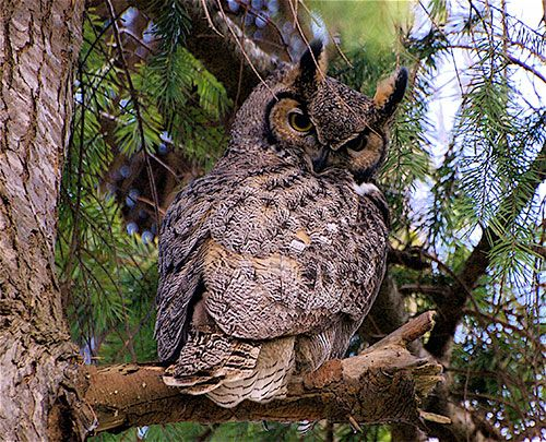 Six facts about great horned owls