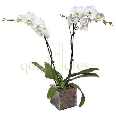Consejos de cuidado de las orquídeas Phalaepnosis