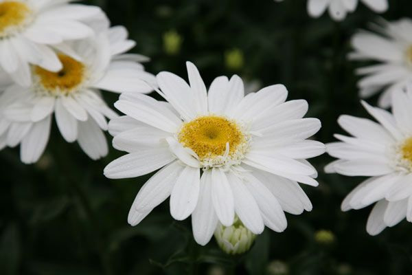 Leucanthemum × superbum 'T.E. Killin' - Magnificent, semi-double white daisies, the size of small saucers are held high on sturdy upright stems from July to August.