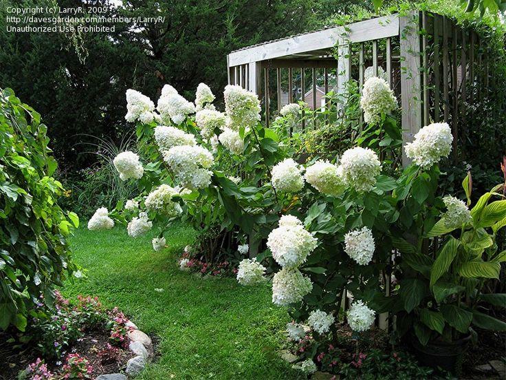 : Holy Hydrangeas, Limelight Hydrangea, Flowers Flowers, White Garden, Flowers Garden, Flowers Shrubs, White Hydrangeas, Avenue Garden