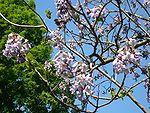 Paulownia tomentosa - Incredibly fast growing...maturing to one of the hardest hardwoods....pioneer tree....nitrogen rich leaves, tui's feed from the flowers, sparrows eat the seeds......plant at entrance way to property