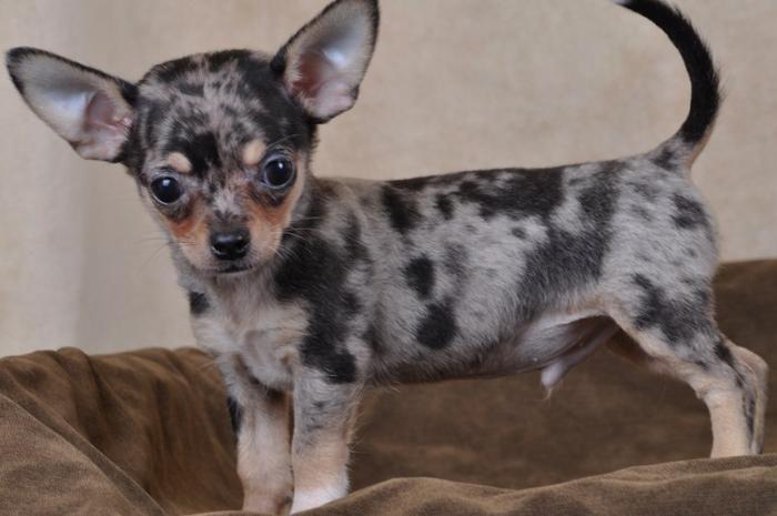 Au Coup de Patte - Chihuahua poils courts bleu merle male