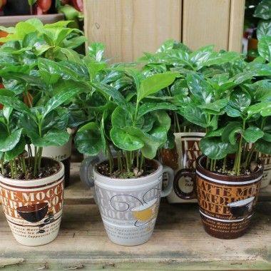 Coffea arabica in cofee mug