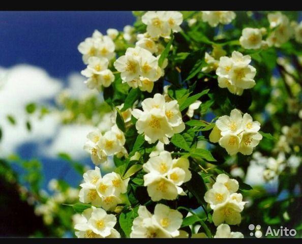 Питомник саженцы плодовые деревья и декоративные — фотография №1