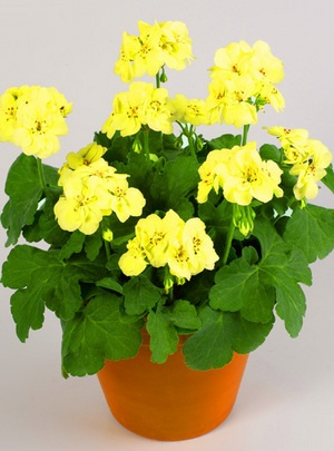 Yellow Geraniums - a World First    Geranium First Yellow Improved: This lovely pastel Pelargonium, or Geranium as more commonly known, represents a real breeding breakthrough from PAC in Dresden.