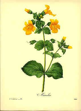 Redoute Botanical Print - I'd like 4 different botanicals matted and framed with a skinny gold frame in the bedroom