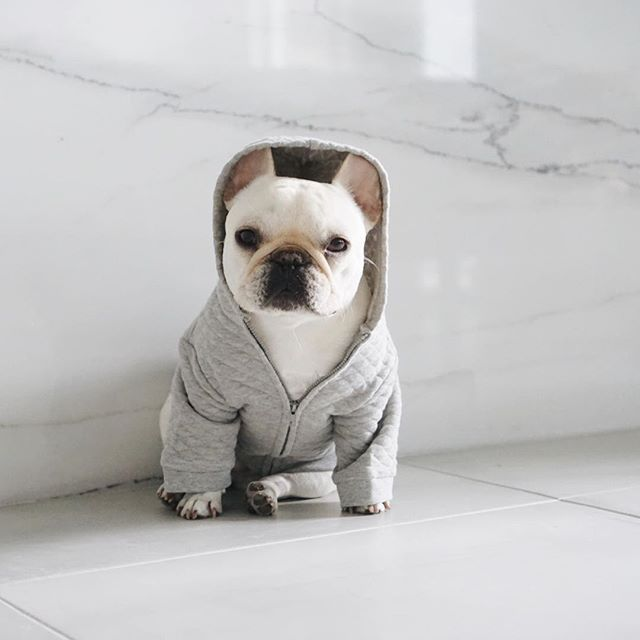 Polly, the French Bulldog, in a Pipolli quilted hoody, @piggyandpolly on instagram.