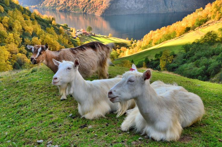 The goats at Skjerdal produce some of Aurland's famous goat cheese