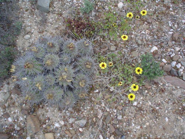 Desierto florido, cerca de Huasco, Región de Atacama, 2004. Flora del desierto de Chile.