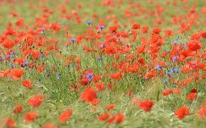 Обои цветы, маки, трава, поле, луг