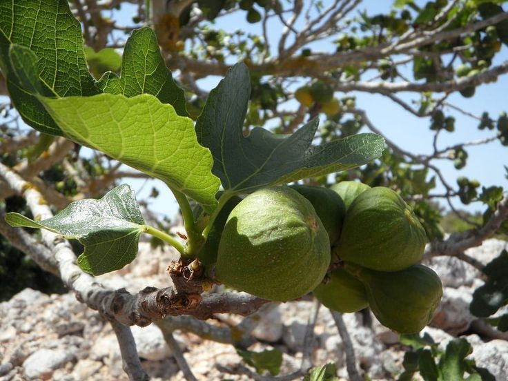 Can You Eat Fig Leaves?  Yes You CAN!!