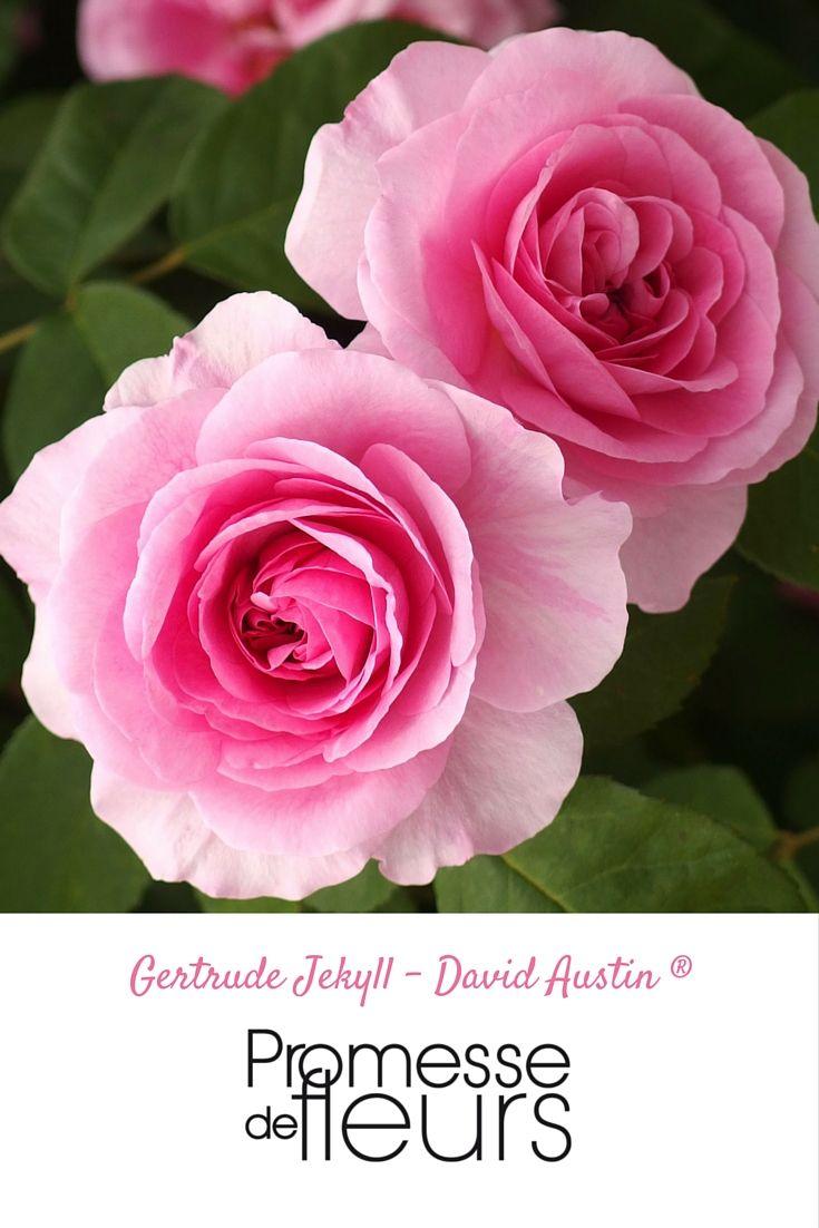 les 46 meilleures images du tableau roses rosiers sur pinterest les rosiers grandes fleurs. Black Bedroom Furniture Sets. Home Design Ideas