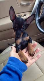 Manchester Terrier Toy Information and Facts - Dog Breeds