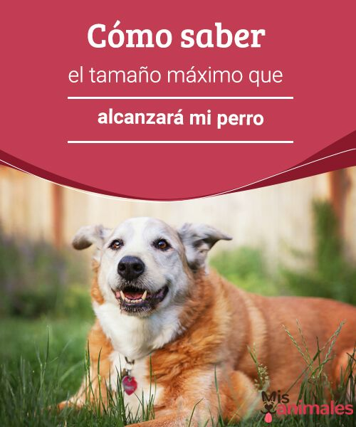 Cómo saber el tamaño máximo que alcanzará mi perro Descubre el procedimiento y los secretos para conocer el tamaño máximo que alcanzará tu perro antes de saber si es el que puedes tener. #tamaño #perro #consejos #secretos