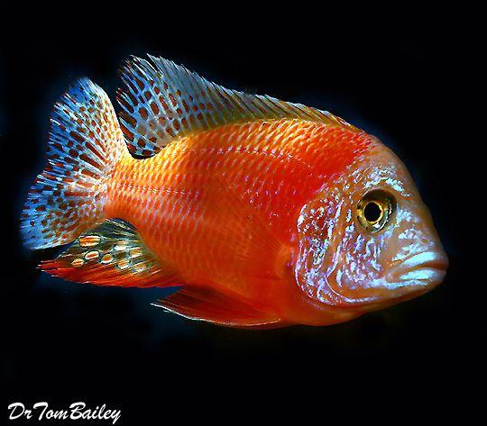 De 25+ bedste idéer til Cichlid fish på Pinterest | Cichlider