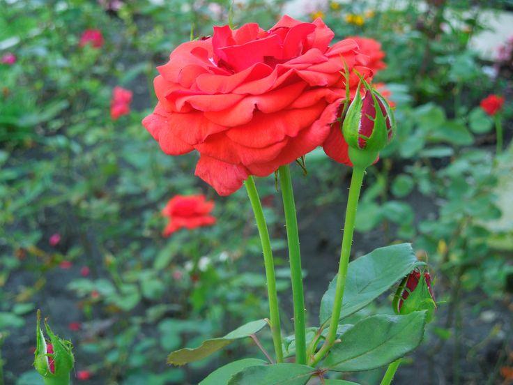 Trandafiri din curtea Mănăstirii Ghighiu