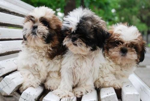 3 shitzus. My favorite kind of dog. Adorable. (: